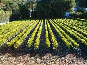 'Living hedges' at Twining Valley Nurseries