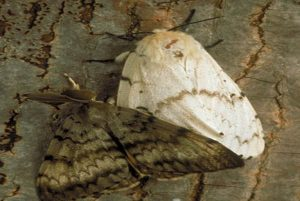 Comparison between male (left) and female (right) adult Gypsy moths. Image courtesy of USDA APHIS PPQ Archive, Bugwood.org