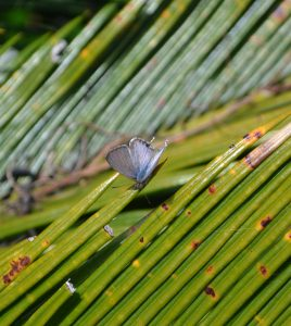 1612-cycad-blue-butterfly