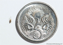 tomato-potato-psyllid