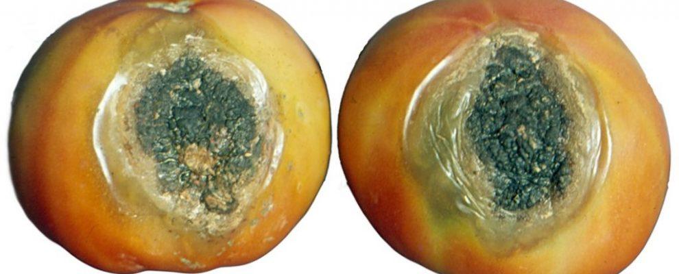 June - Phoma tomato