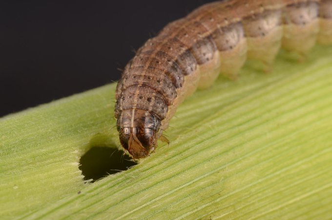 NEW PROJECT: Identifying fall armyworm parasitoids